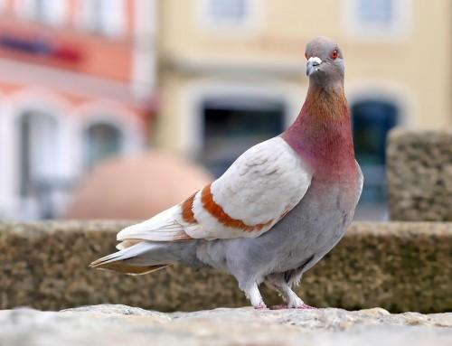 شركة مكافحة الحمام في راس الخيمة  0523353369 مكافحة الطيور